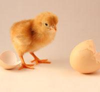ChickenBlog3