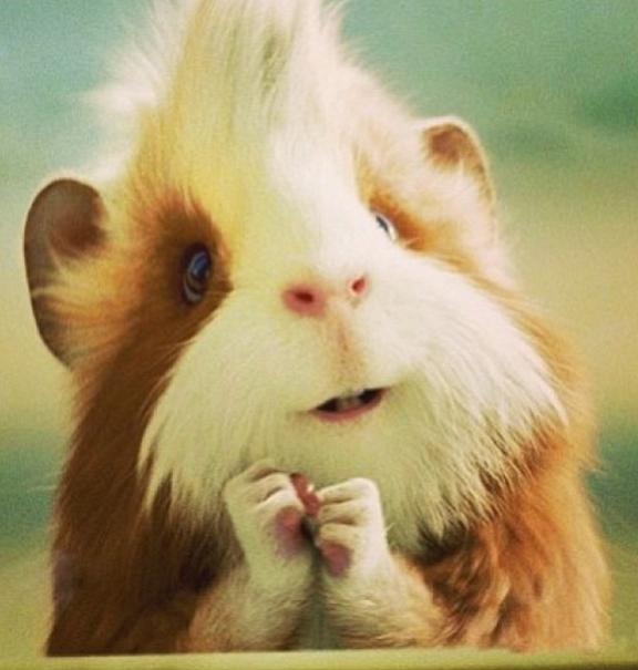 4_Guinea Pig (2)