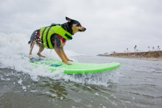 Surfing-Dogs2