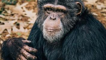 Chimp_Haven